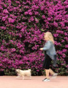 Woman walking dog to earn money
